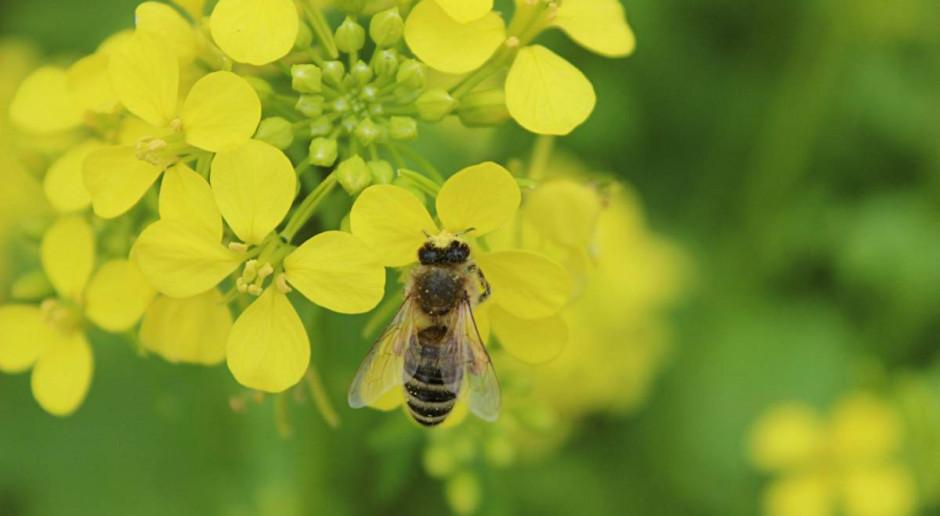 Dziś Światowy Dzień Pszczół. Jak rolnicy mogą pomóc zapylaczom?