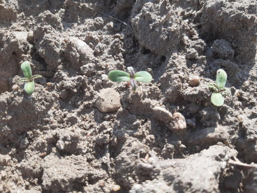 Po niespełna tygodniu od siewu zanotowano już wschody roślin Fot. A. Kobus