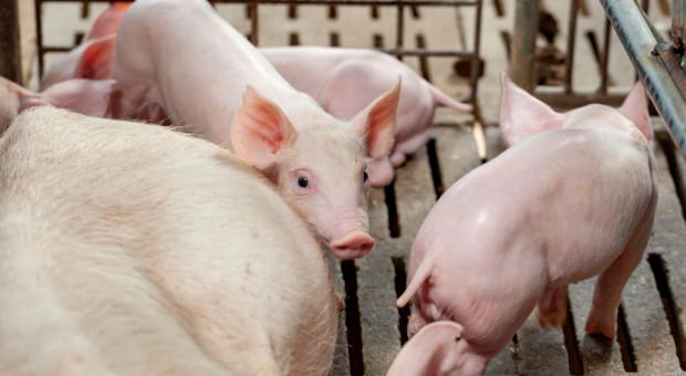 Niderlandy: Wyraźnie wzrosły koszty produkcji trzody chlewnej