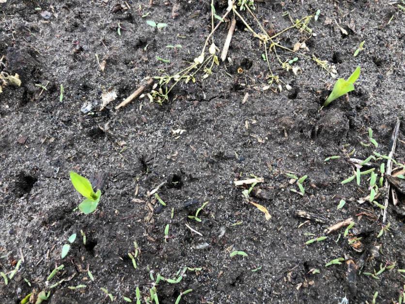 """Plantacja kukurydzy będzie wymagać """"poprawkowego"""" zabiegu herbicydowego. Fot. J.Ś-S."""