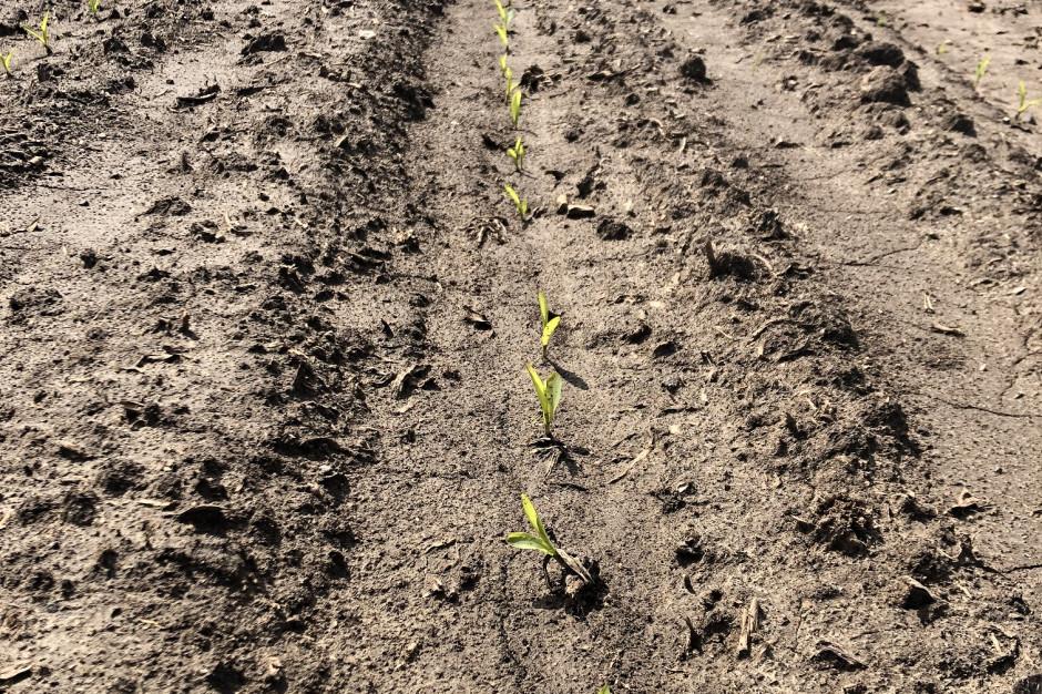 Ryc. 1. Wschodząca kukurydza przetrwała deszcz nawalny, obsada 81 tys. roślin/ha. /fot. Dawid Chwirot, VH Polska