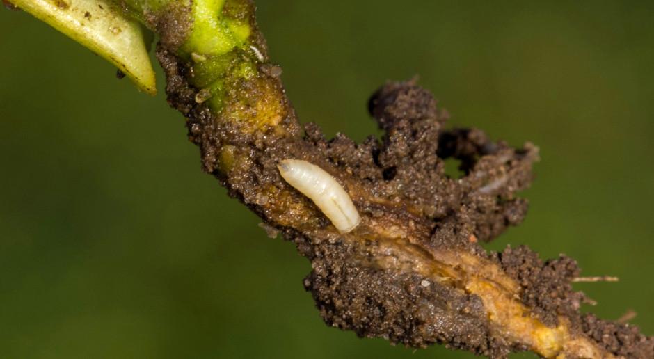 Agrotechniczne metody zwalczania szkodników rzepaku