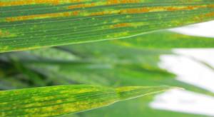 Rdza żółta lubi chłodną wiosnę – jest już widoczna na plantacjach zbóż