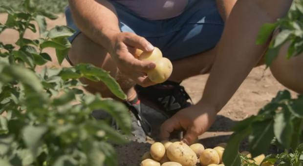 Jak zadbać o jakość ziemniaka?