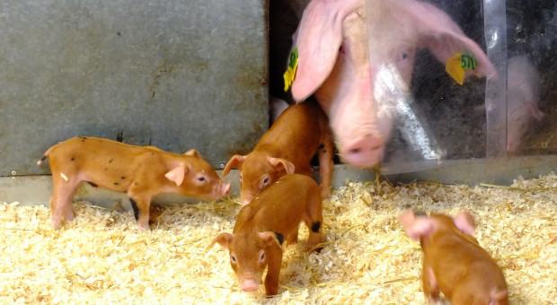Rolnicy nie chcą inwestować w produkcję zwierzęcą?