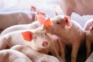 Jak zmieniało się pogłowie świń od 2000 roku?