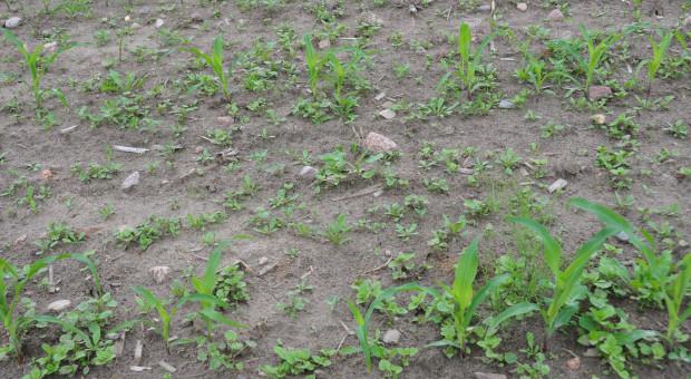 Kukurydza w uprawie bezpłużnej