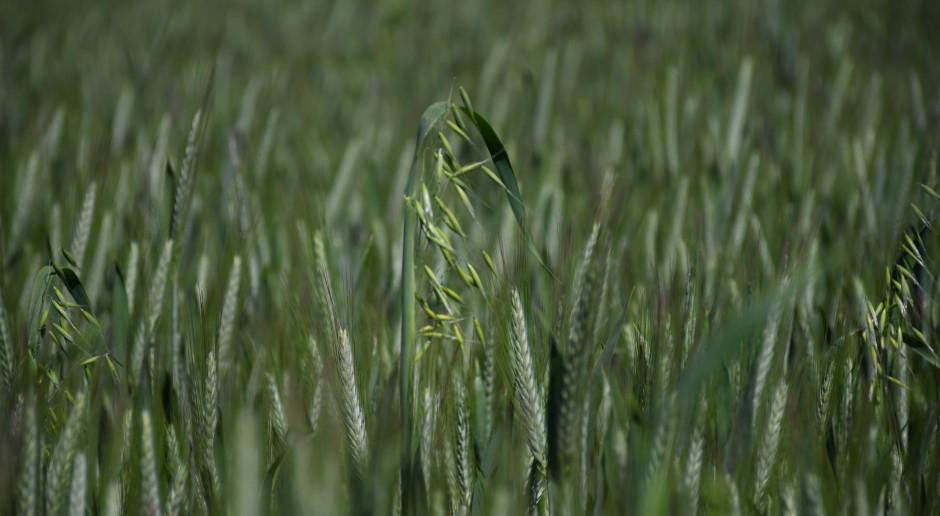 Owies głuchy problemem w uprawie pszenżyta ozimego