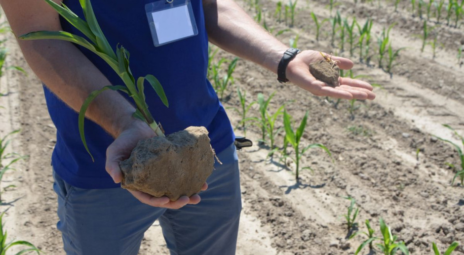 Jak pomóc kukurydzy?