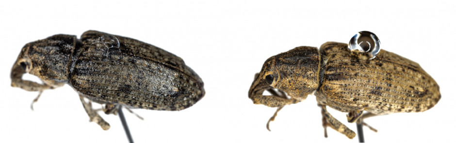 Porównanie zachowania się kropli wody na ciele szarka komośnika. Po lewej z dodatkiem adiuwanta, po prawej bez dodatku