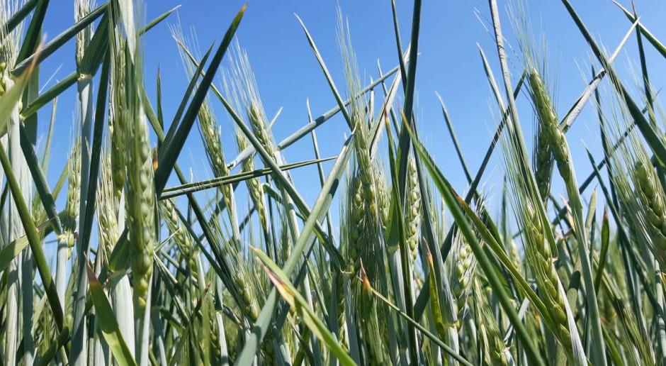 Liść flagowy zbóż zwinięty w tutkę
