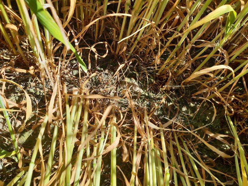 2 tygodnie bez deszczu i dolne liści szybko usychają Fot. A. Kobus