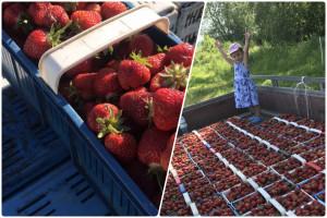 Ceny truskawek spadają, pojawiają się też oferty samozbioru