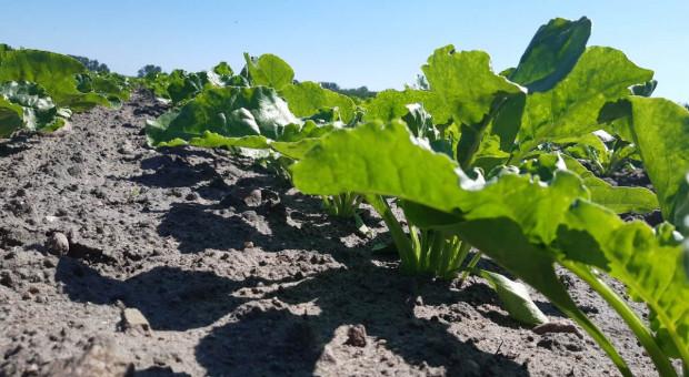 Dostępność fungicydów w ochronie buraka jest znacznie mniejsza