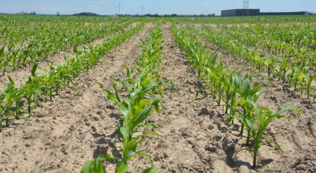 Jakie nawożenie dolistne dla kukurydzy? Radzi prof. Szczepaniak