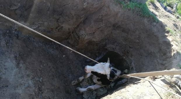 Na ratunek bykowi, który utknął w studni