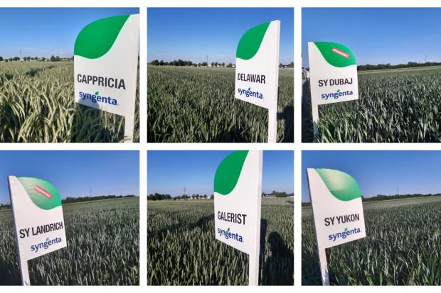 Kolekcja odmian pszenicy ozimej na której testowane są firmowe programy ochrony Fot. A. Kobus