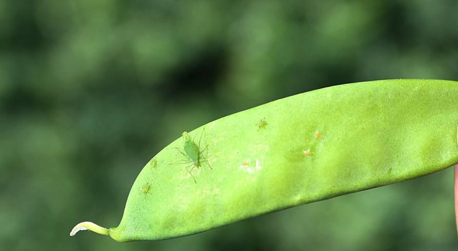 Jaja strąkowca grochowego oraz mszyca grochowa na młodym strąku Fot. A. Kobus