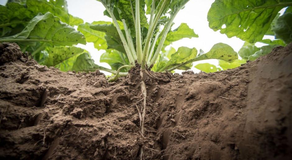 Plantatorzy kontra cukrownia