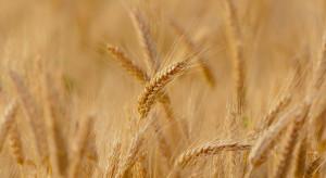 Kolejne prognozy wysokich cen zbóż do końca tego roku