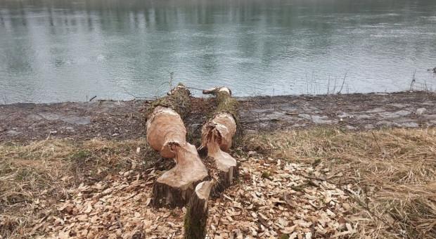 Odszkodowań za drzewa uszkodzone przez bobry nie przewidziano