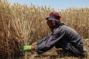 Aby ukrócić proceder, w dofinansowanie afgańskiego rolnictwa, mianowicie pomoc we wdrażaniu systemów nawadniania, czy też zwiększenie dostępności materiału siewnego i rozwoju hodowli roślin, w 2002 r. zaangażowała się US Agency for International Development (USAID) działająca na rzecz ograniczania ubóstwa na świecie i pomocy humanitarnej. fot. PAP/EPA/M SADIQ