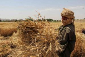 Od lat afgańscy rolnicy byli zachęcani przez tamtejsze władze do porzucenia narkotykowego podziemia produkcji opium, na rzecz uprawy zbóż, warzyw czy ryżu. PAP/EPA/M SADIQ