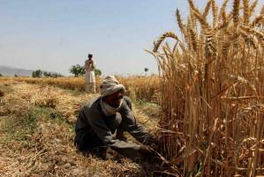 Afgańscy rolnicy byli zachęcani do zwiększaniu uprawy zbóż. Pandemia Covid-19 pokrzyżowała te plany.  fot. PAP/EPA/M SADIQ