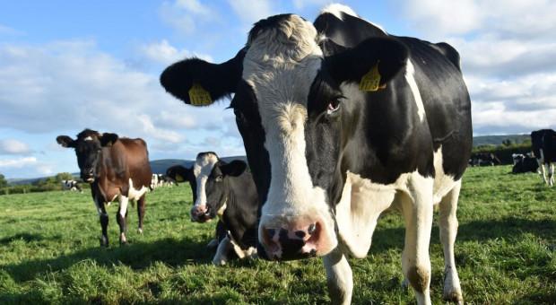 Kolejna śmierć na pastwisku - rolnik stratowany przez krowy