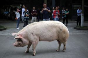 DPA: Śmierć chińskiej świni bohaterki trzęsienia ziemi
