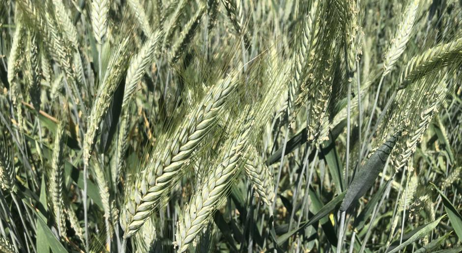 Reakcja roślin uprawnych na upał - lustracja polowa
