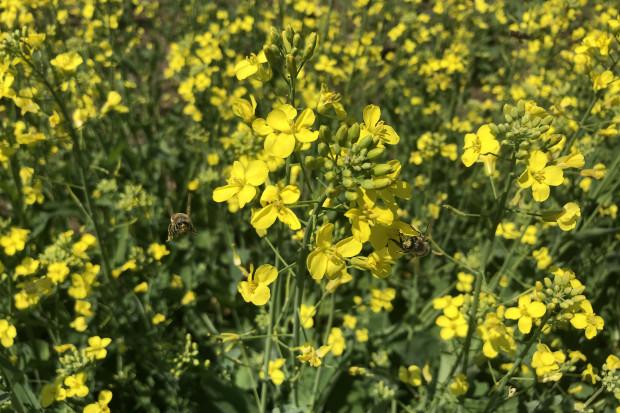 Na kwitnącym rzepaku bytują licznie zarówno owady pożyteczne, jak i te niepożądane (JŚ-S).
