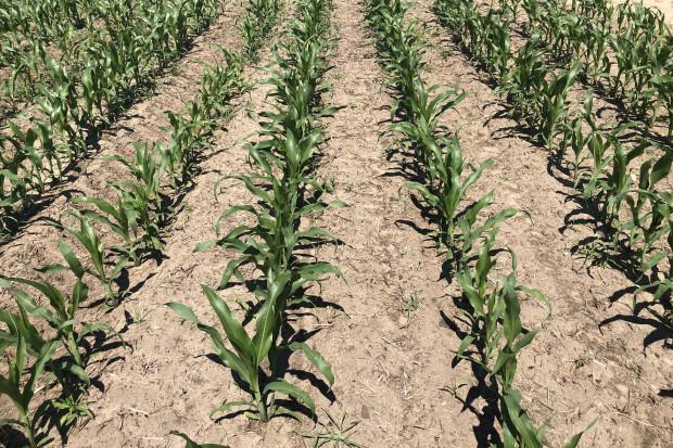 Drugi, powschodowy zabieg chwastobójczy w kukurydzy skutecznie ograniczył zachwaszczenie plantacji (JŚ-S).