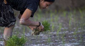 W Nepalu rolnicy sadzą ryż, korzystają z dobrej pogody