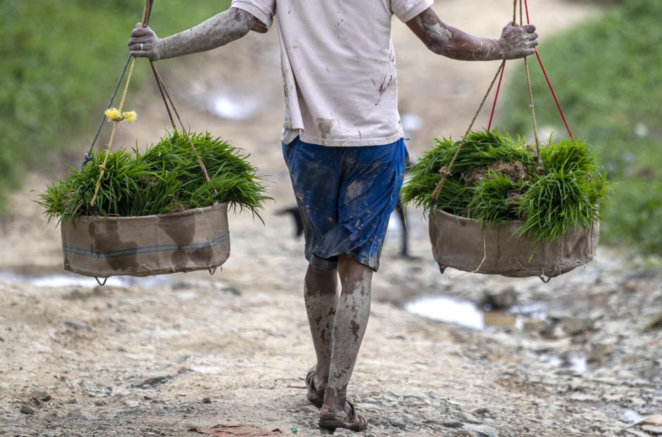 Ryż stanowi około 20 procent rolniczego produktu krajowego brutto, ponad 50 procent całkowitej produkcji żywności zbożowej i prawie jedną trzecią całkowitej ilości kalorii spożywanych przez Nepalczyków. Znaczenie gastronomiczne ryżu dla Nepalu jest nie do przecenienia; Fot. PAP/EPA/NARENDRA SHRESTHA