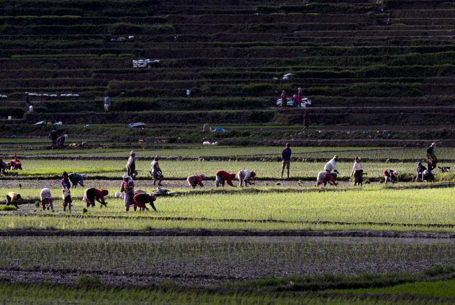 Ogromne połacie ziemi tradycyjnie przeznaczonej pod uprawę ryżu coraz bardziej kurczą się z powodu szybkiej urbanizacji. Hektary za hektarami ziemi uprawnej są przekształcane w kolonie mieszkaniowe. Na polach ryżowych powstają wysokie apartamentowce, ponieważ budowniczowie wabią lub nakłaniają rolników do odsprzedawania swoich ziem. W rezultacie to, co kiedyś było zielono-złotymi polami ryżowymi, teraz zamieniło się w brzydkie betonowe dżungle. Ostrożne szacunki mówią o utracie gruntów ryżowych na rzecz urbanizacji w ostatniej dekadzie na poziomie około 100 000 hektarów; Fot. PAP/EPA/NARENDRA SHRESTHA