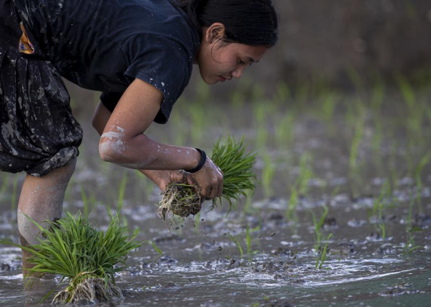 W Nepalu pod uprawę ryżu przeznaczonych jest około 1,5 miliona hektarów, co przekłada się na roczne zbiory wynoszące ponad 5 milionów ton ryżu. Co roku każdy Nepalczyk zjada około 120 kg tego surowca; Fot. PAP/EPA/NARENDRA SHRESTHA