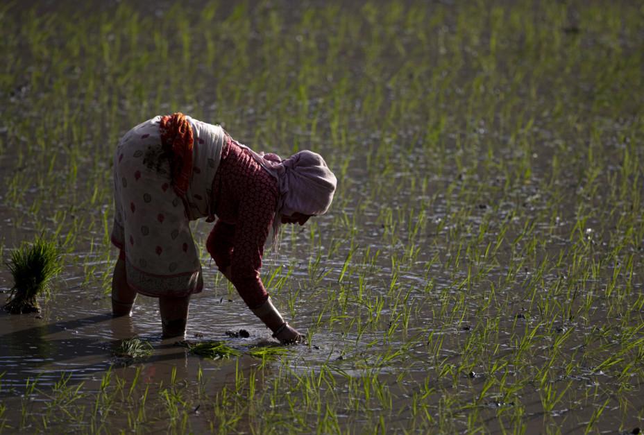 60% rolnictwa w Nepalu opiera się na deszczach monsunowych, a 40% na nawadnianiu; Fot. PAP/EPA/NARENDRA SHRESTHA