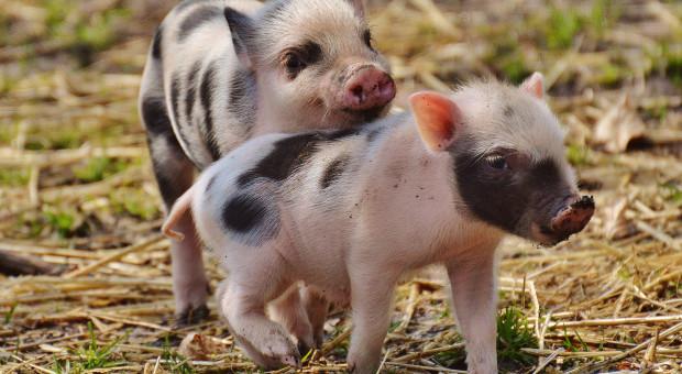 Bartosik: Wznowienie produkcji świń w małych gospodarstwach - priorytetem