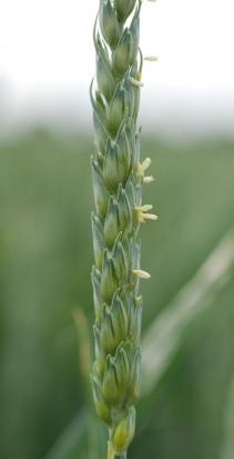 Optymalny efekt ochrony przed fuzariozą kłosa uzyskuje się, opryskując pszenicę w fazie kwitnienia./fot. Bayer