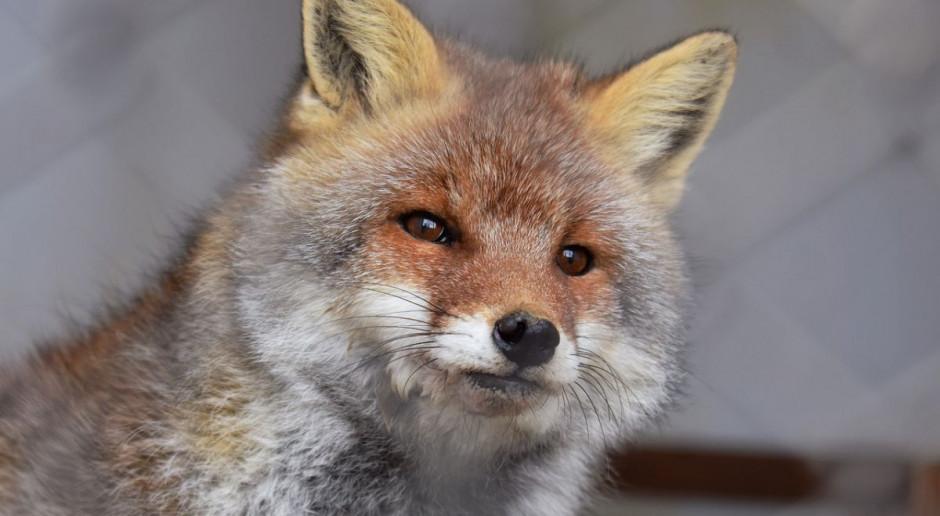 Wścieklizna u dzikiej zwierzyny na Mazowszu - są kolejne przypadki