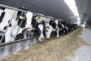 Konsekwencje błędów w letnim żywieniu krów