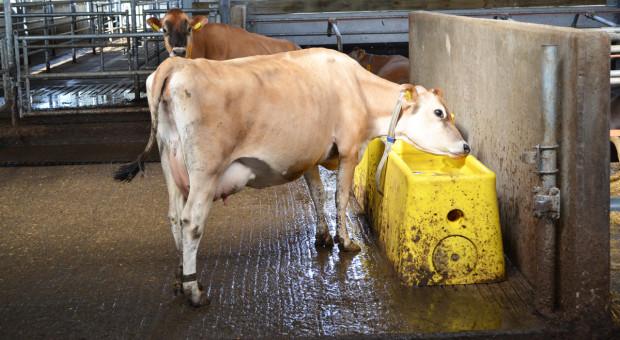 Popraw komfort termiczny krów