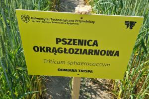 5 ton z hektara pradawnej pszenicy w konwencjonalnej uprawie