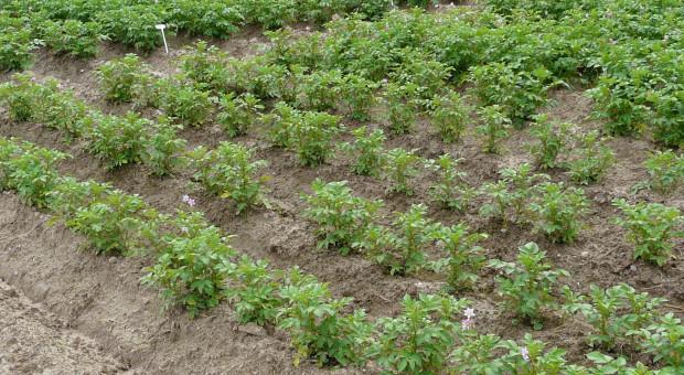 Dolistne dokarmianie ziemniaka potasem