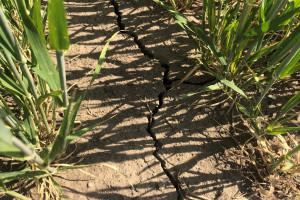 Uprawa bezorkowa pomaga w walce z suszą - w jaki sposób?