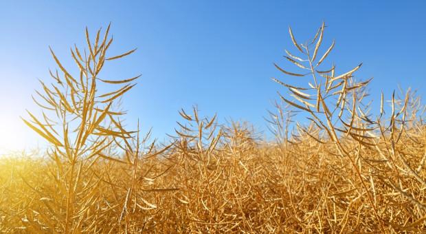 DRV: Prognoza zborów zbóż lekko w dół, rzepaku bez zmian
