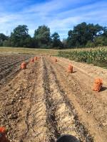 Uprawa ziemniaków prowadzi do degradacji gleby. Wpływają na to sposób prowadzenia plantacji (uprawa redlinowa) oraz zbiory silnie przetrząsające glebę. Ich negatywny wpływ na środowisko powinien być stosowaniem kompostów, międzyplonów czy słomy bezpośrednio pod tę uprawę lub wzmianowaniu