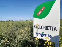 SY Glorietta to nowa odmiana w ofercie firmy Syngenta