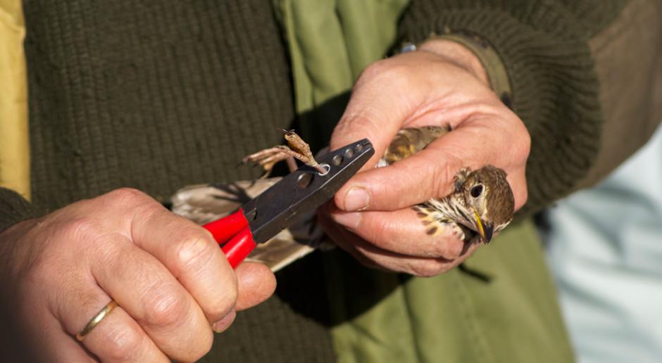 Zaobrączkowano blisko 300 piskląt gniazdujących na południu Polski